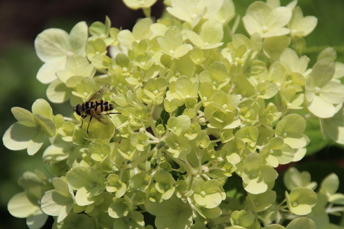 Hortensiabrengtooklevenindetuin